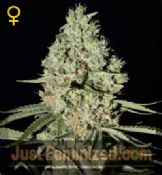 super critical feminised cannabis seeds by greenhouse for sale